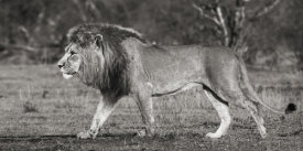 Pangea Images - Lion walking in African Savannah