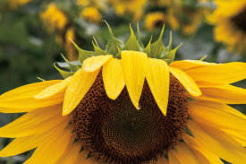 Brookview Studio - Sunflower