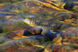 Vic Schendel - Brown Trout Surfacing