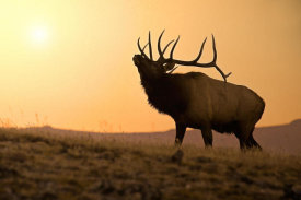 Vic Schendel - Bull Elk at Sunset