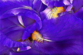 Vic Schendel - Purple Iris