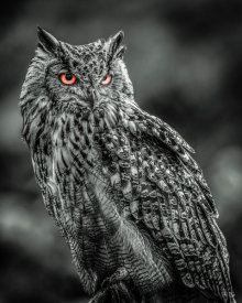 European Master Photography - Wise Owl 2 black & white