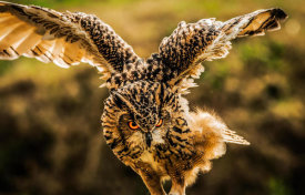 European Master Photography - Wise Owl 4