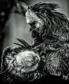 European Master Photography - Little Cute Monkeys 2 black & white