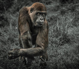 European Master Photography - Gorillas