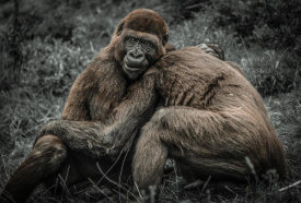 European Master Photography - Gorillas 2