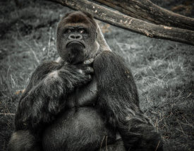 European Master Photography - The Male Gorilla 2 black