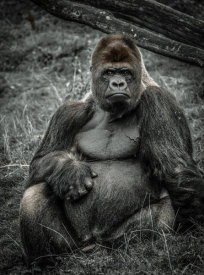 European Master Photography - The Male Gorilla 3