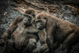 European Master Photography - Gorillas 4