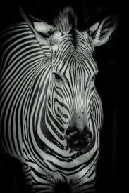 European Master Photography - Zebra 3 black & white