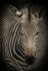European Master Photography - Zebra 5