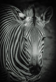 European Master Photography - Zebra 5 black & white