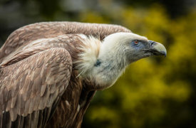 European Master Photography - Vulture 3
