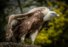 European Master Photography - Vulture 5