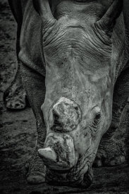 European Master Photography - Male Rhino 2 black & white