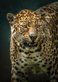 European Master Photography - Angry Jaguar 2