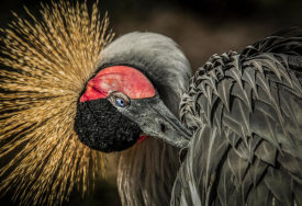 European Master Photography - Yellow Crowned Crane 3
