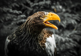 European Master Photography - Steller Eagle 7