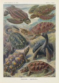 Ernst Haeckel - Tortoises and Turtles (Chelonia - Schildkroten)