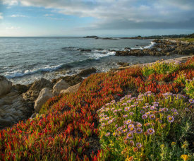 Tim Fitzharris - Ice Plant and flowering Seaside Fleabane on coast, Pebble Beach, California