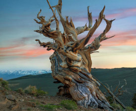Tim Fitzharris - Great Basin Bristlecone Pine Tree, Inyo National Forest, California