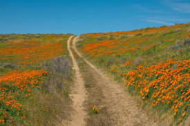Tim Fitzharris - California Poppy flowers and road, superbloom, Antelope Valley, California