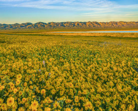 Tim Fitzharris - Hillside Daisy flowers, superbloom, Temblor Range, Carrizo Plain National Monument, California