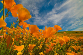 Tim Fitzharris - California Pies in spring bloom, Lake Elsinore, California