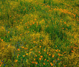 Tim Fitzharris - California Poppies and Desert Yellow Fleabane in spring bloom, Diamond Valley Lake, California