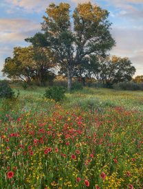 Tim Fitzharris - Oak tree and Indian Blanket flowers, Texas