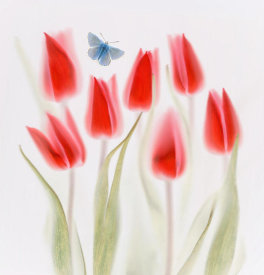 Brian Haslam - Red Tulips