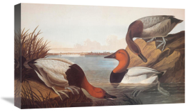 John James Audubon - Canvas-Backed Duck