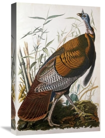 John James Audubon - Wild Turkey, Male