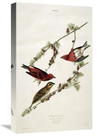 John James Audubon - Purple Finch