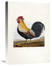 Robert Havell - Cock