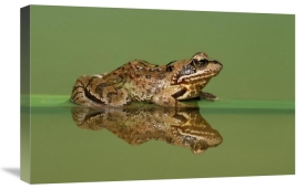 Ingo Arndt - Common Frog on partially submerged leaf, Europe