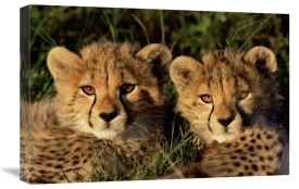 Peter Blackwell - Cheetah two cubs, Masai Mara, Kenya