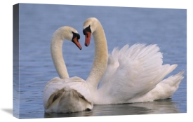 Flip De Nooyer - Mute Swan pair courting, Europe