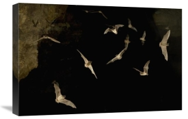 Michael Durham - Brazilian Free-tailed Bat group emerging from James Eckert River Bat Cave at dusk, Texas