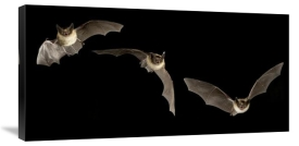 Michael Durham - Western Long-eared Myotis trio flying showing acrobatic maneuvers, Deschutes National Forest, Oregon