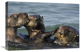 Suzi Eszterhas - Sea Otter bachelor male chasing mother with three to six month old pup, Monterey Bay, California