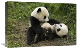 Katherine Feng - Giant Panda cubs playing, Wolong Nature Reserve, China