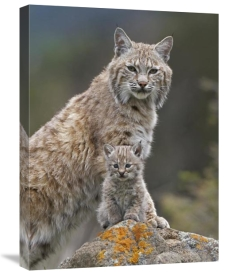 Tim Fitzharris - Bobcat mother and kitten, North America