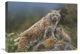 Tim Fitzharris - Bobcat mother and kittens, North America