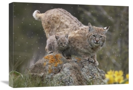 Tim Fitzharris - Bobcat mother and kitten in snowfall, North America