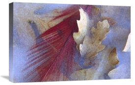 Tim Fitzharris - Northern Cardinal feather and Oak leaves frozen in ice, Arizona