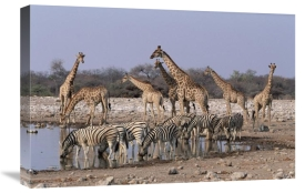 Michael and Patricia Fogden - Burchell's Zebra and Giraffe at waterhole, Etosha National Park, Namibia