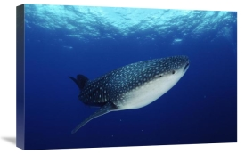 Jurgen Freund - Whale Shark off Christmas Island