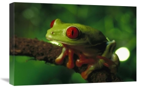Heidi and Hans-Jurgen Koch - Red-eyed Tree Frog portrait sitting on a twig, native to tropical rainforests of Central America