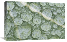 Scott Leslie - Water droplets on leaf, Annapolis Valley, Nova Scotia, Canada